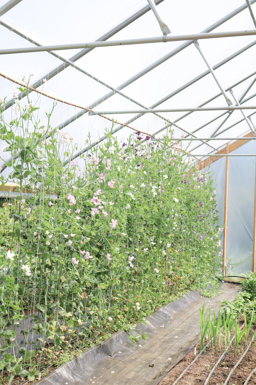 sandra-lesfleurs-tours-maple-flower-farm-sweetpea.jpg