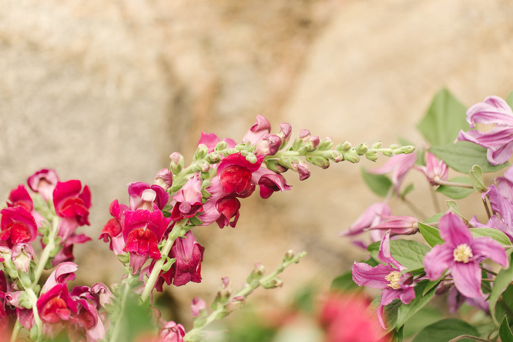 red-snapdragon-pink-clematis.JPG