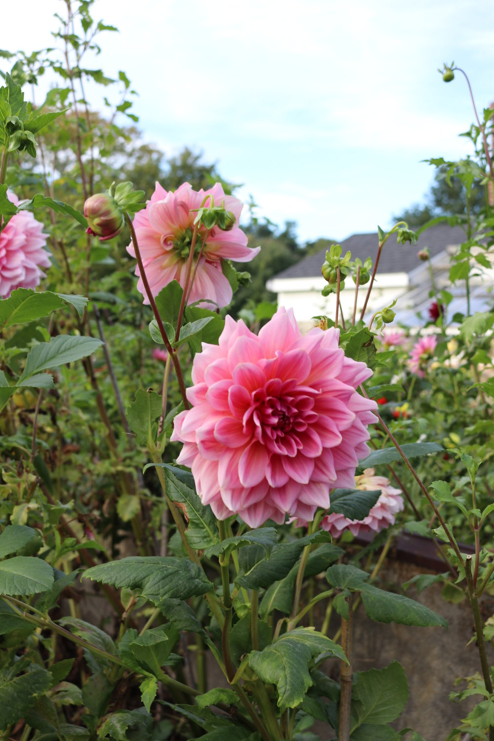 pink dahlias stevens-coolidge estate north andover