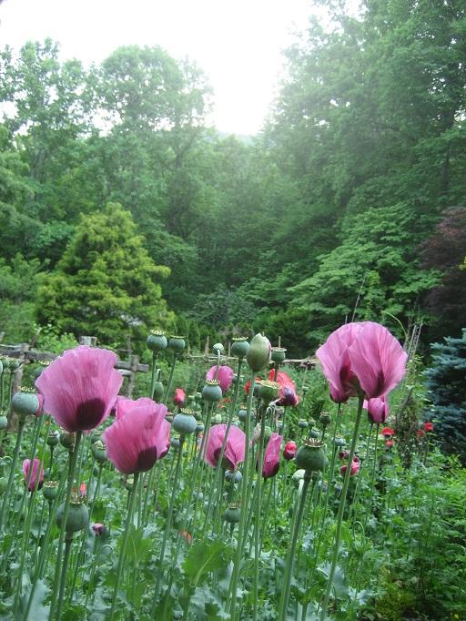 poppy-splendor.jpg