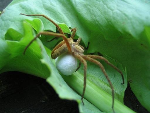 spider-eggsac.jpg