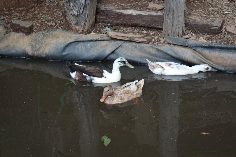 duckpond.jpg