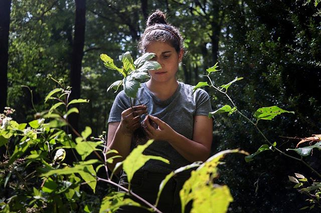 Cristina harvesting goldenseal