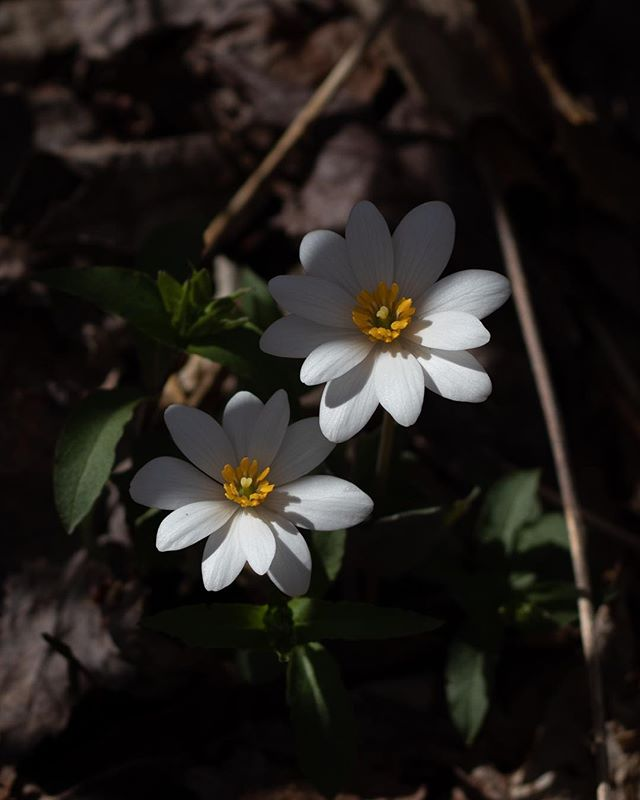 Bloodroot exudes a red caustic latex from the fresh root, once used as a dye, as well as for treating skin conditions. We'll be seeing more of this beautiful spring flower, and others, in Spring Useful Plants, a half-day workshop on April 20. . Our full 2019 workshop calendar is posted on the website and on our Facebook page.