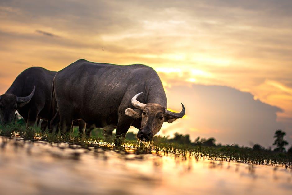 bull - background.jpeg