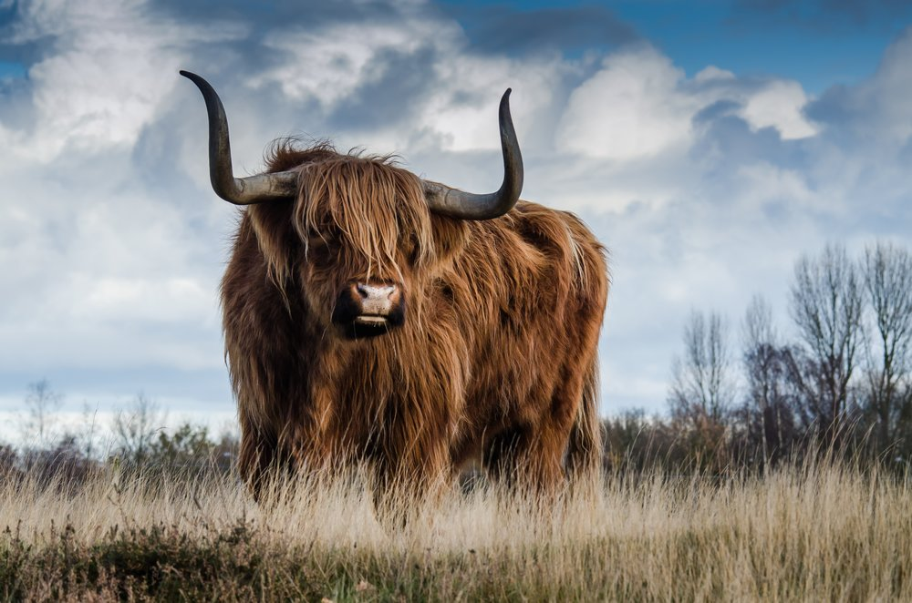 bull-landscape-nature-mammal-139399.jpeg