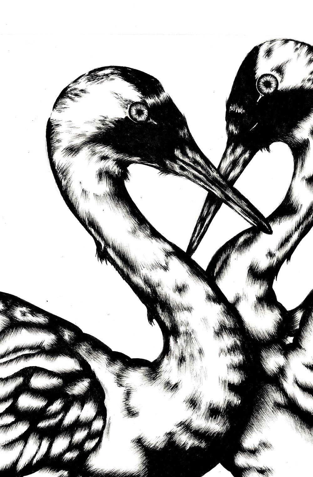 Whooping Cranes  (2016)  Birds that Stay Together, Forever   Ink