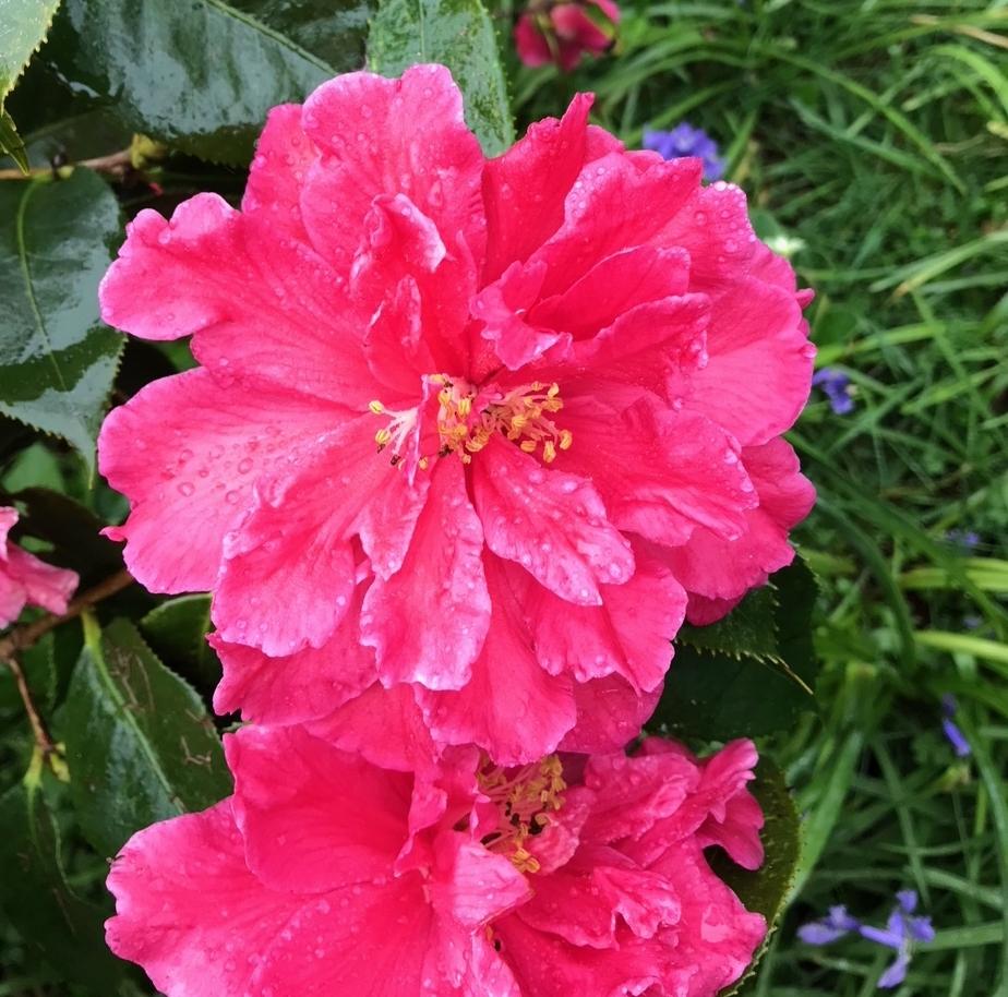 C Petherick Camellia.jpg