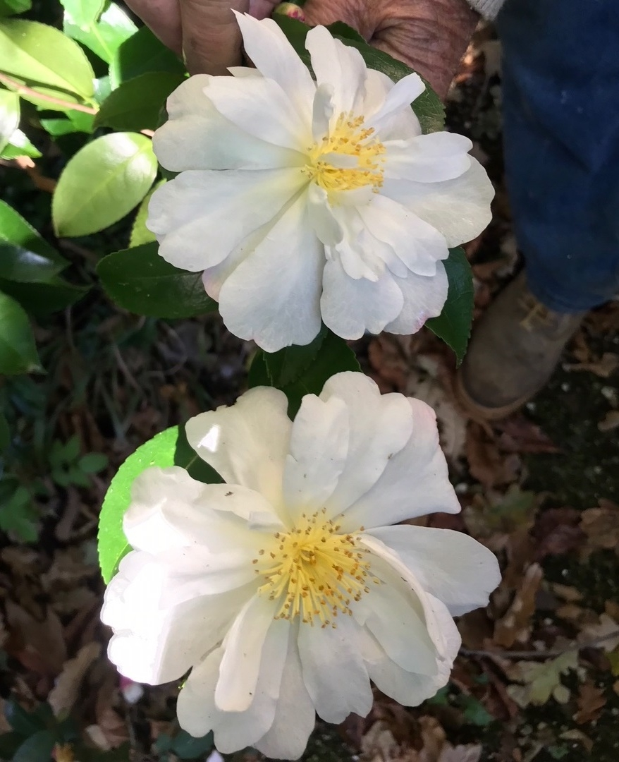 Paradise Camellia white.jpg