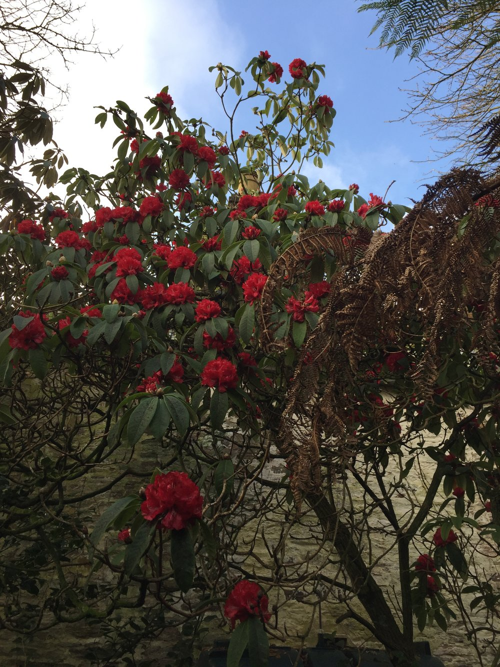Cornish Red Rhodo.JPG