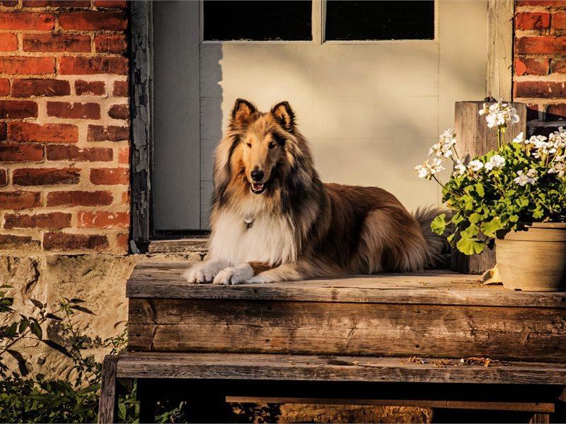 collie on the steps doorway.jpg