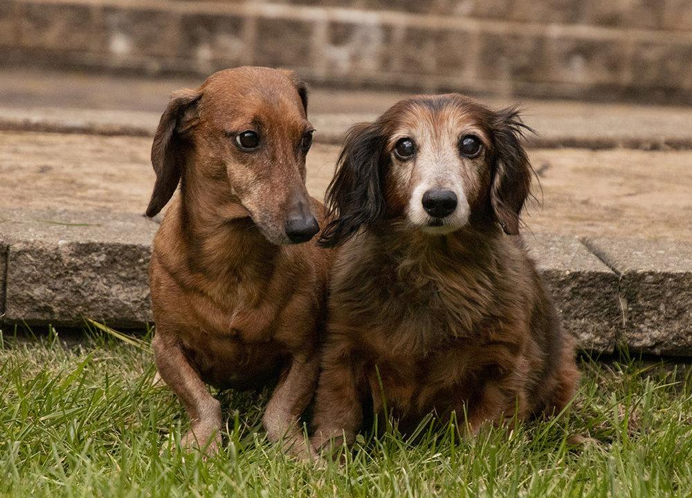dacshund pair.jpg
