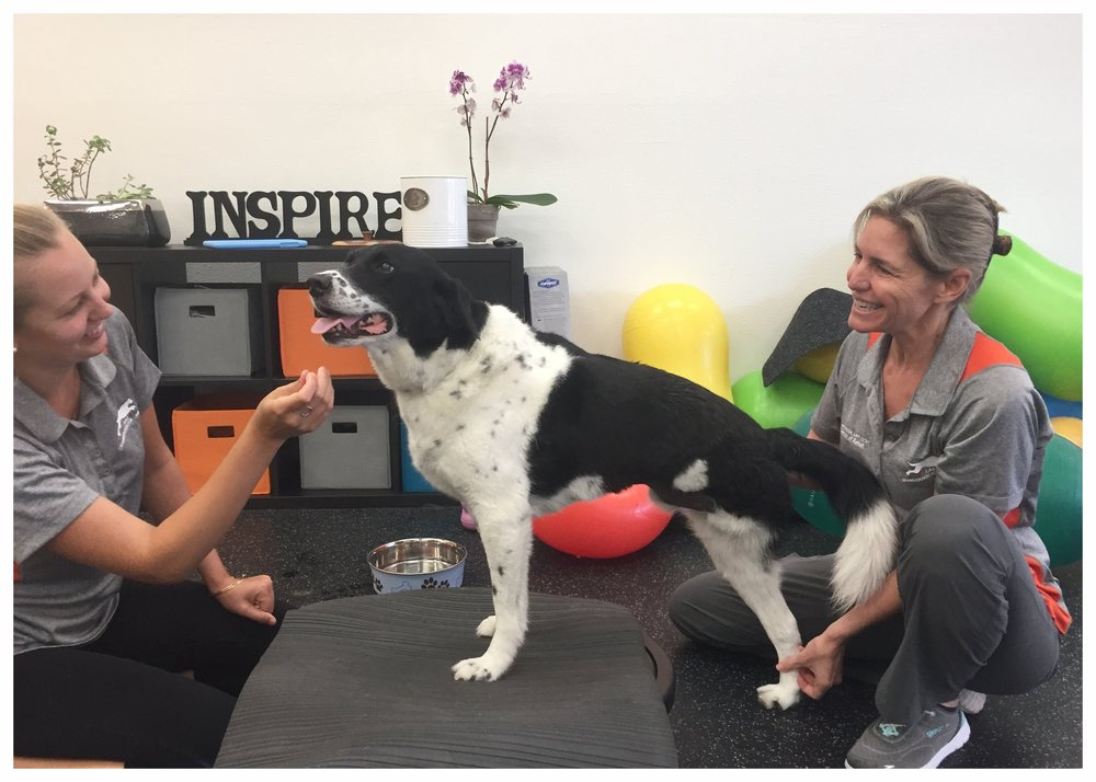 Happy, the three-legged wonder dog, is learning how to move around since losing his left hind limb to cancer. This exercise promotes optimal balance as he learns how to navigate his world on 3 legs. Again, core strength plays an important role in rehab for a variety of conditions.
