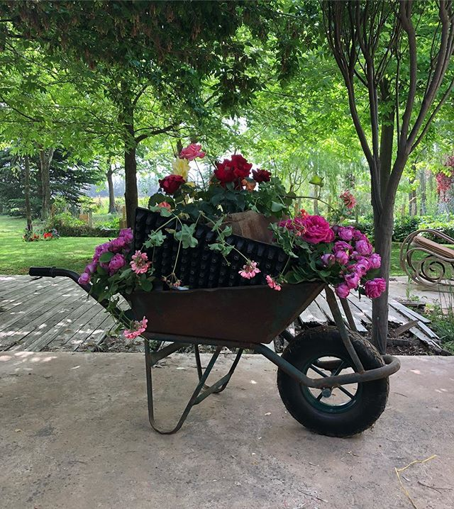 A wheelbarrow of roses to celebrate #cinqodemayo in #Lebanon ❤️🌷 . . . #flowers #livelovebekaa #bekaa #livelovelebanon #flowerpower #mexico #nature #history #fiesta