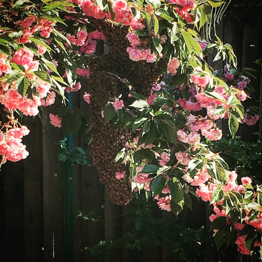 bees, swarm, backyard beekeeping, swarm of bees