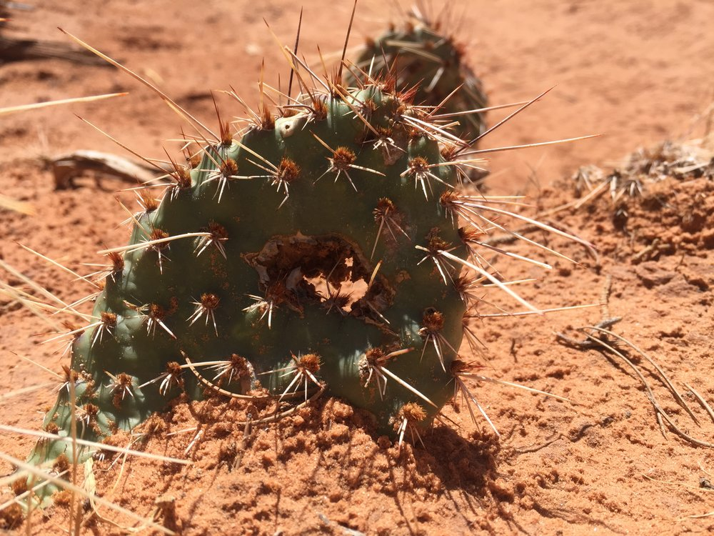 Even the cacti have arches in Arches National Park.