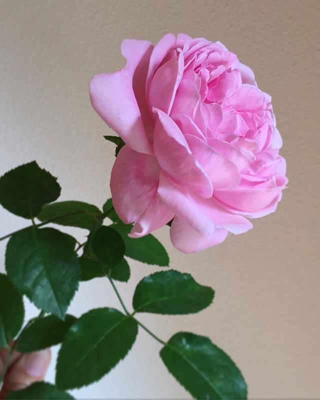 After a weekend away, one of my favorite things about coming home is seeing all the new blooms in our garden. My white rose bushes still have so many buds and produced this single PINK rose! Farmer friends, how did this happen?! 💖