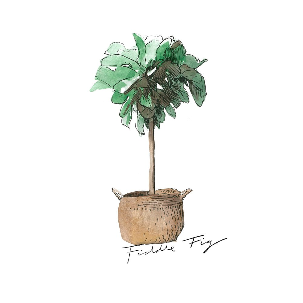 Fiddle Fig   Indoor Plants   The Beach People