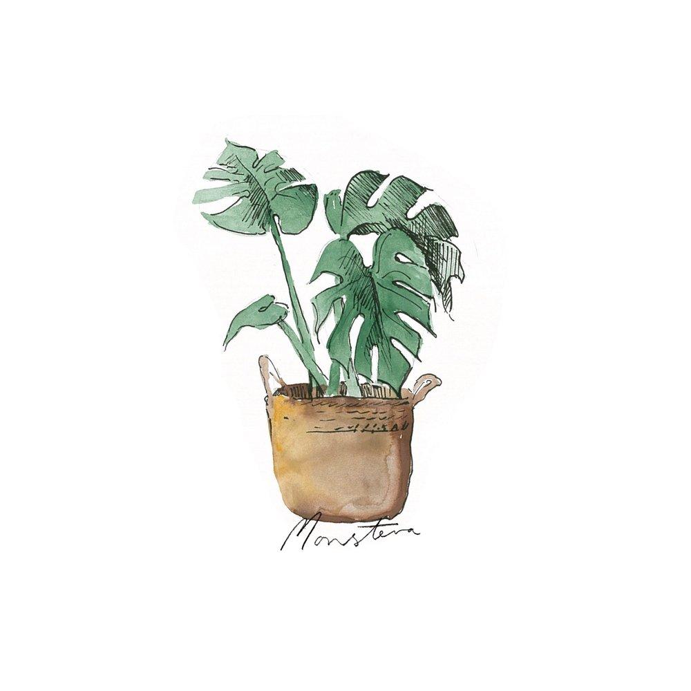 Monstera - Indoor Plants - The Beach People