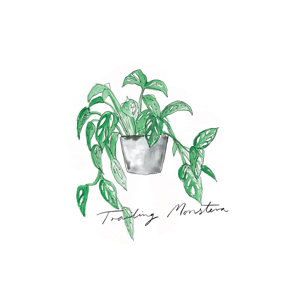 Trailing Monstera - Indoor Plants - The Beach People