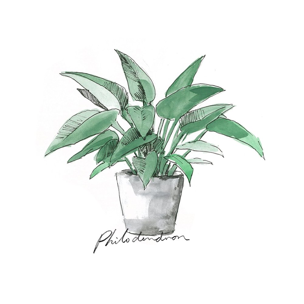 Philodendron - Indoor Plants - The Beach People