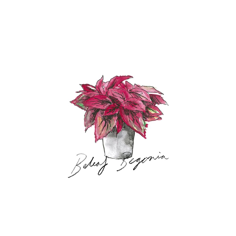 Beleaf Begonia - Indoor Plants - The Beach People