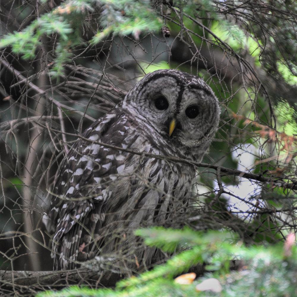 Owl_1080-2.jpg