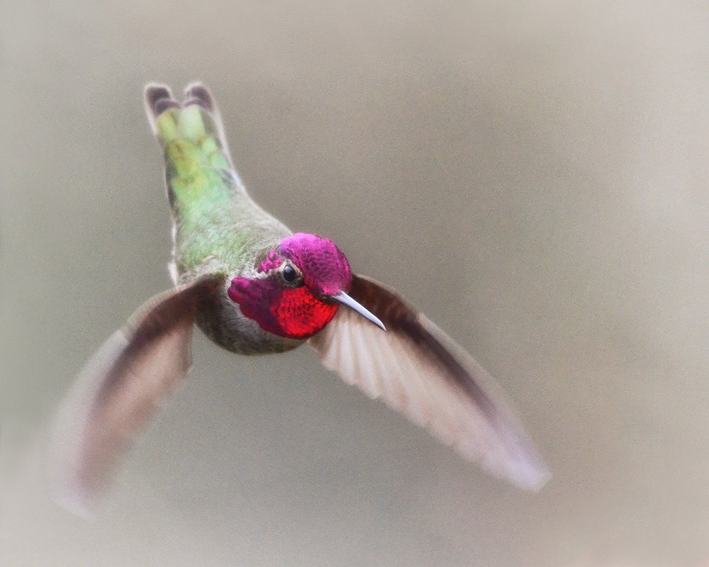 No317_Hummingbird-Jewel-in-Flight_1500w72r-H.jpg
