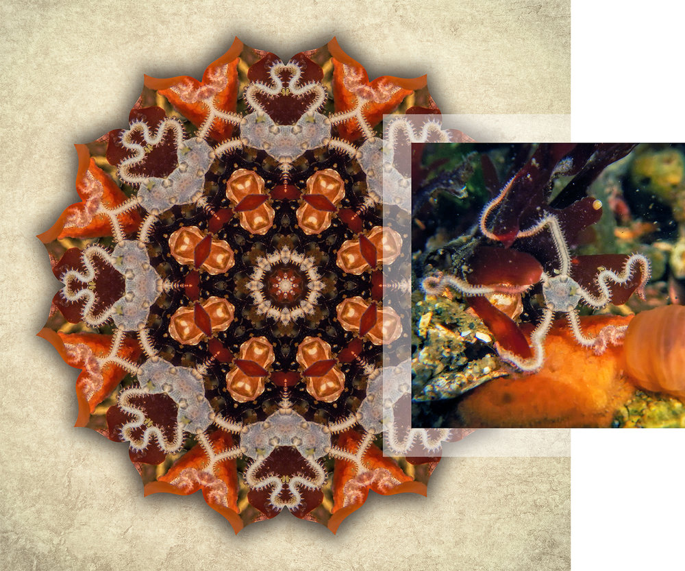 About-Mandalas-Brittle-Star_1500w72r.jpg