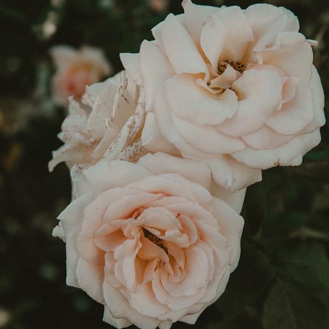 rose garden | 2018
