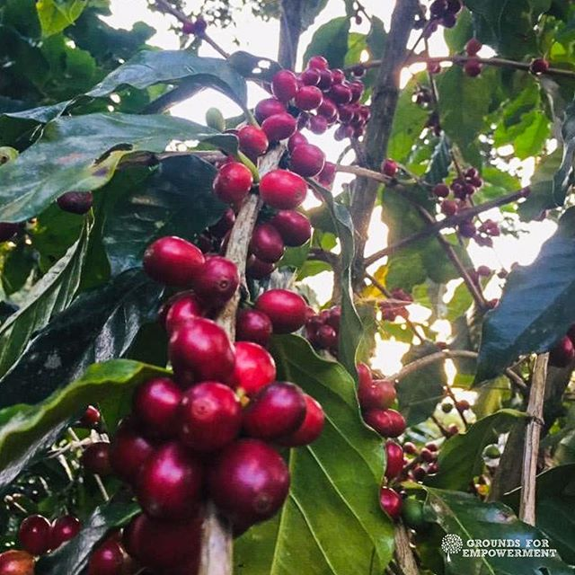 """Last #CoffeeFactFriday, we talked about coffee origins. Today, we answer this: what is a coffee variety and why does it matter?   According to the Daily Coffee News, """"varieties often occur in nature"""". Different varieties of coffee are likened to the difference between a Valencia orange and a Blood orange - same citrus, but completely different in a several ways. The specific type of coffee plant can impact many factors, including """"physical appearance, annual yield, resistance to disease, and, of course, flavor.""""   Coffee is far more complex than many people realize - and the intricacies are intriguing! Learn more about coffee plant types here: http://bit.ly/coffeeplanttype   Try GFE coffees and click their descriptions to see what variety our farmers grow via the link in our bio.  Happy Friday, coffee folks! #gfempowerment #womenincoffee #specialtycoffee #coffeefact #themroeyouknow #fridaymood #coffeeplant"""