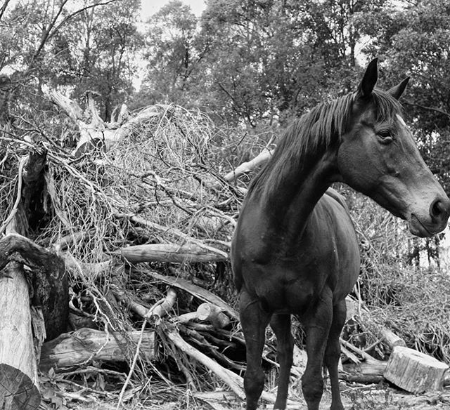 V I N C E N T #11horsescollection #11horses #thoroughbred #australianart #horseeofinstagram #photography #homedecor