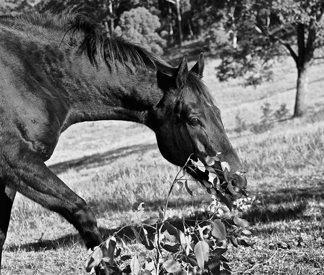 D A V I D #11horsescollection #equineart #photography #homedecor #australianhorses #thoroughbredsofinstagram