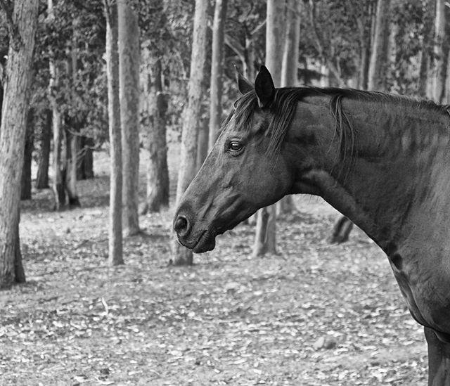 P H I L L I P #11horsescollection #11horses #horsesofinstagram #blackandwhite #thoroughbredsofinstagram #australianart #wildlifeart