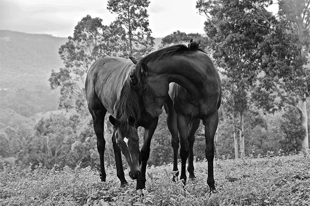 A L B E R T #11horsescollection #thoroughbredsofinstagram #wildlifephotography #blackandwhite
