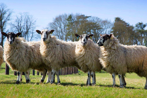 20170403-SLF_sheep-v2-0-0.jpg