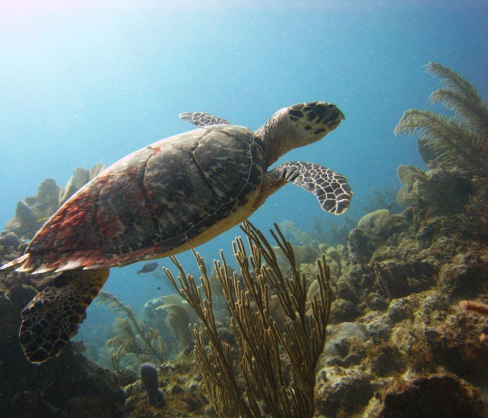 dive- mahahual- Sea Turtle.jpg