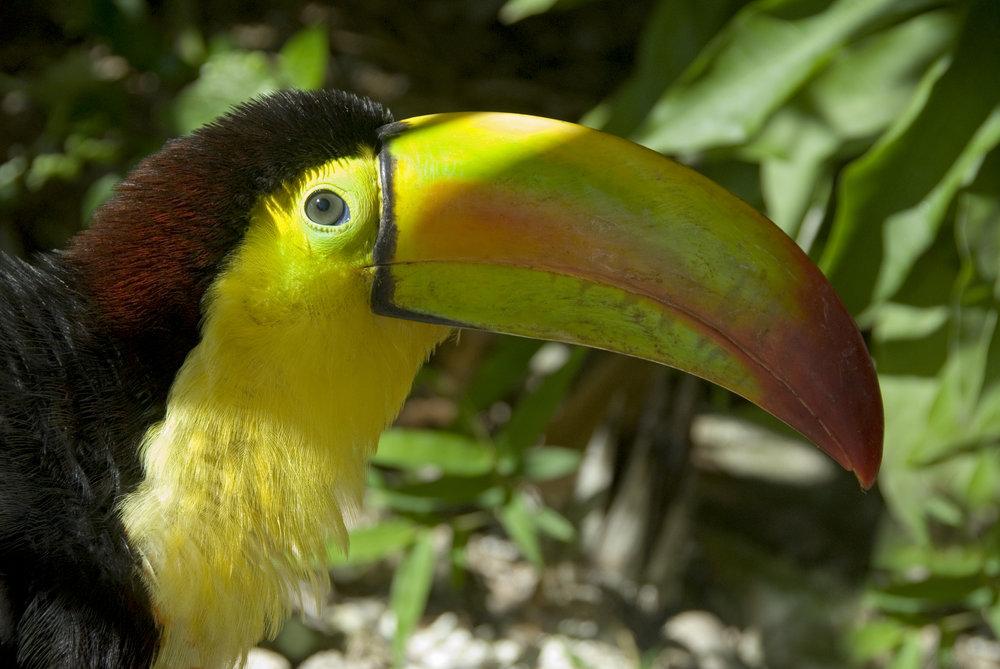 toucan-mahahual