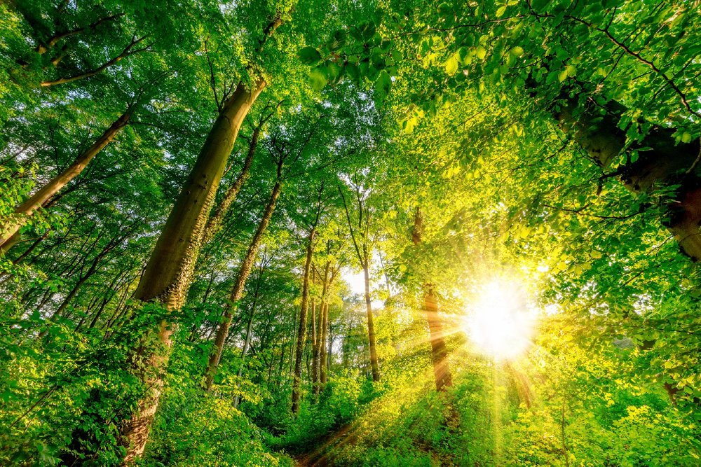 Sun rays shining through green leaves and trees