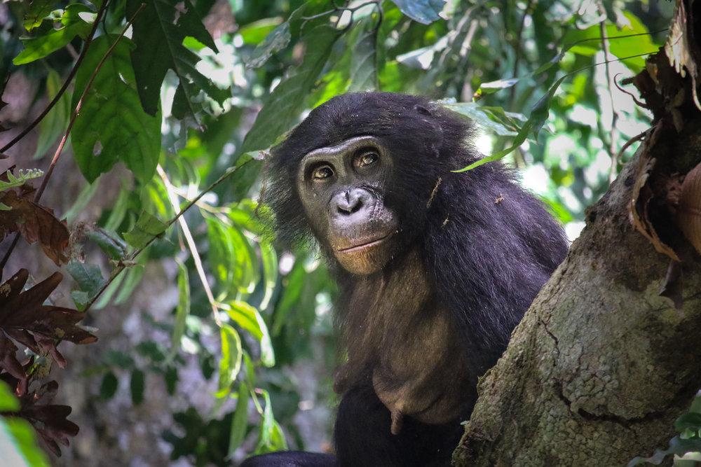 bonobos-world-bonobo-day-1