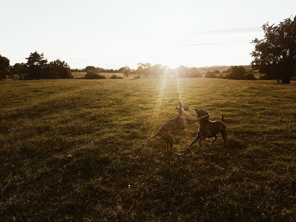 The Dogs Life - whippets photographed by Matthew Lloyd