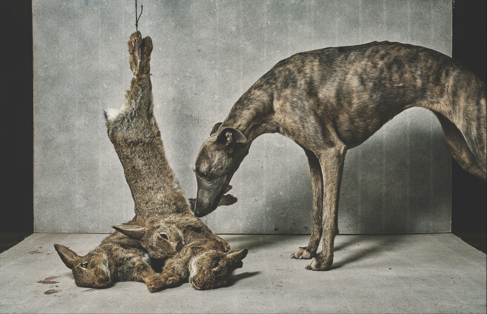 sporting art photograph of a whippet with rabbits, by advertising commercial and still life photographer matthew lloyd, based in yorkshire leeds manchester and harrogate, shooting portraits