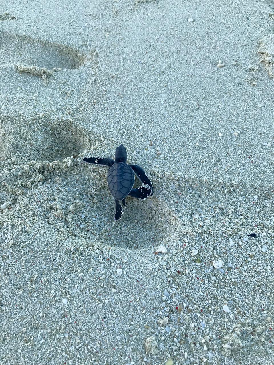 turtle in footprint.jpg