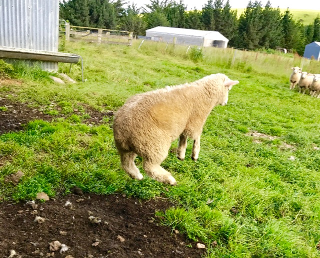 A sheep leaping free from the slaughter line at  Jo & Simon Davies' sheep farm  in Toko Mouth, New Zealand.