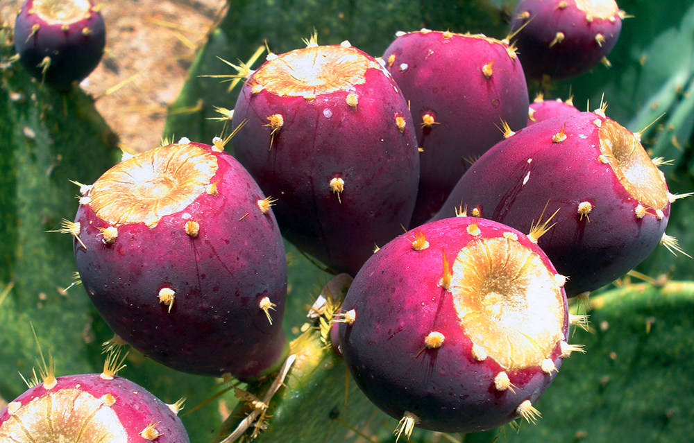 Betalains are a rare and powerful antioxidant found in Nopal cactus fruit. The Key ingredient in Nopavera Plus™