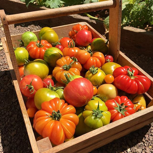 This makes it all worth it. After months of water, sun, and love the rewards are here. 🍅🍅 #fioritofarm #growyourown #organicgardening (varieties: #greenzebra #costolutogenovese #heirloompineapple #earlygirl #sweettreats #sungold #super100s #greencherokee #carnerospink #berkeleytiedye #beefsteak)
