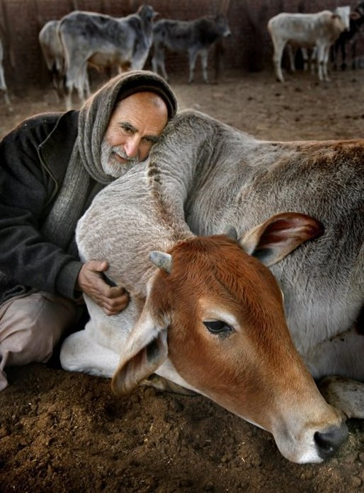 "AT THE "" CARE FOR COWS "" PROJECT. SERVING COWS, WHO ARE EMBODIMENTS OF LOVE, SELFLESSNESS AND THEIR VERY GIVING NATURE."
