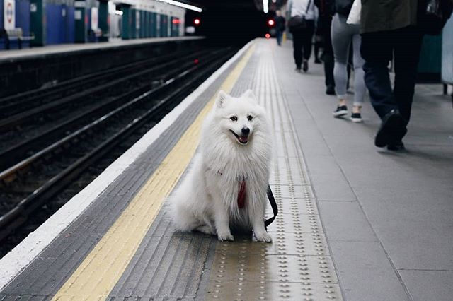 • Shout out to doggy commuters! We've had a quiet period and we apologise, we'll be back up and posting as soon as we can! Here's a cute pic of me waiting for the tube 🚅🚅 ⠀⠀⠀⠀⠀⠀⠀⠀⠀ ⠀⠀⠀⠀⠀⠀⠀⠀⠀ ⠀⠀⠀⠀⠀⠀⠀⠀⠀ ⠀⠀⠀⠀⠀⠀⠀⠀⠀ ⠀⠀⠀⠀⠀⠀⠀⠀⠀ ⠀⠀⠀⠀⠀⠀⠀⠀⠀ #spitz #eskie #dogsofinstagram #japanesespitz #eskiespitz #dogfriendlylondon #dogfriendly #londondogs #dogsofgreatbritain #dogsoftheuk #statelyhound #dogsoftheweek #smilingdog #ilovespitz #caninelove #weeklyfluffy #fluffydog #dogsoflondon #dogcrushdaily #petteezer #dogbrush #doggrooming #blowingcloudsdaily #dogsofig #dogsontrains #dogsonthetube