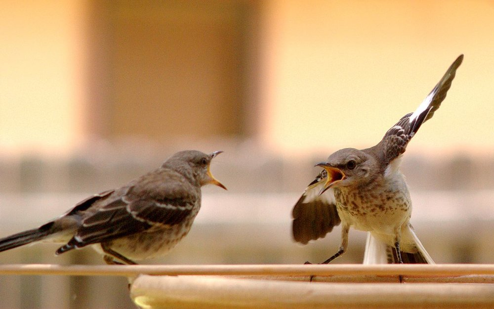 1200px-Mocking_Bird_Argument.jpg