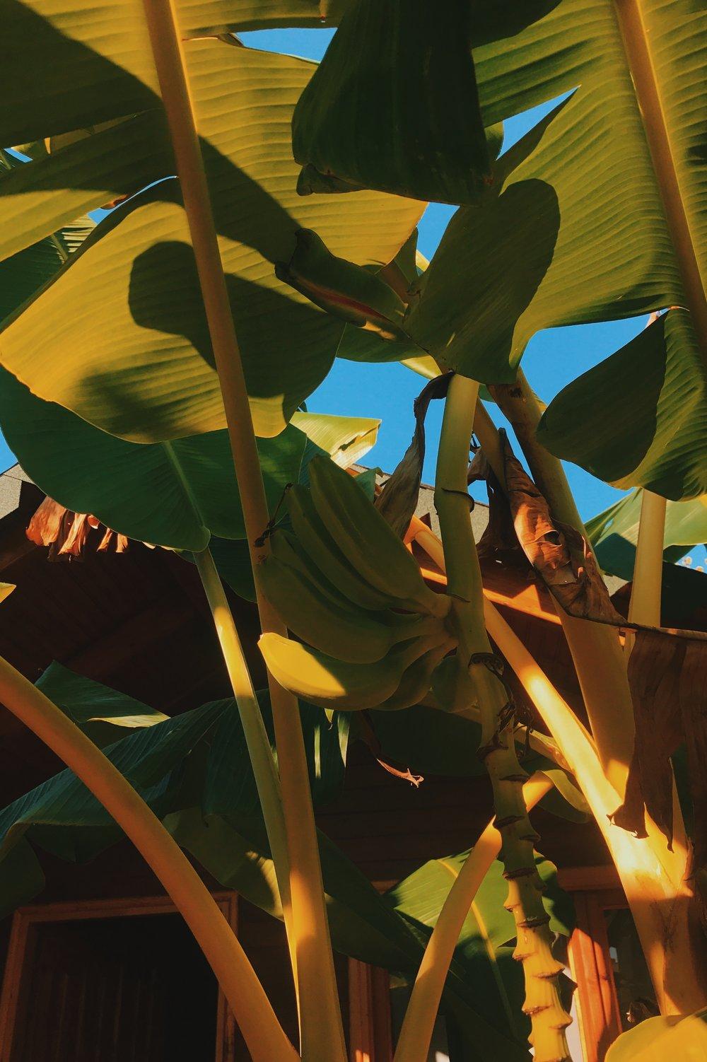 Banana trees in Albania